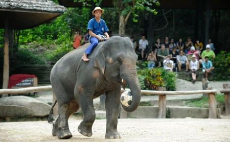 การแสดงช้าง ปางช้างแม่สา แม่ริม เชียงใหม่